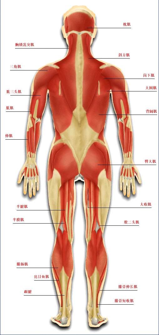 人体肌肉_发一些肌肉方面的图片,方便大家做人体肌肉建模以及贴图绘制用!