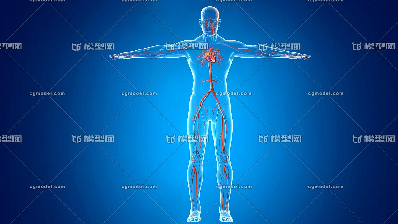 三维人体模型_医学动画 人体心脏 人体血管系统 血液循环 动脉,静脉,血液 ...